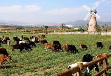 Điểm đến lãng mạn cho các cặp đôi du lịch Đà Lạt - Dalat Milk farm